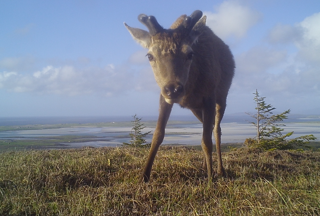 Young stag on north uist