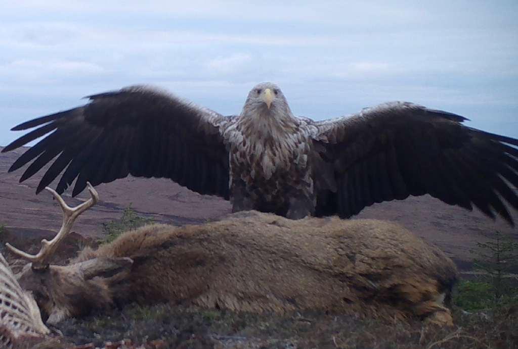 sea eagle on north uist
