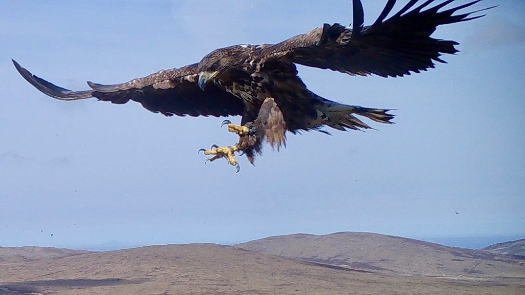 young sea eagle coming in to land