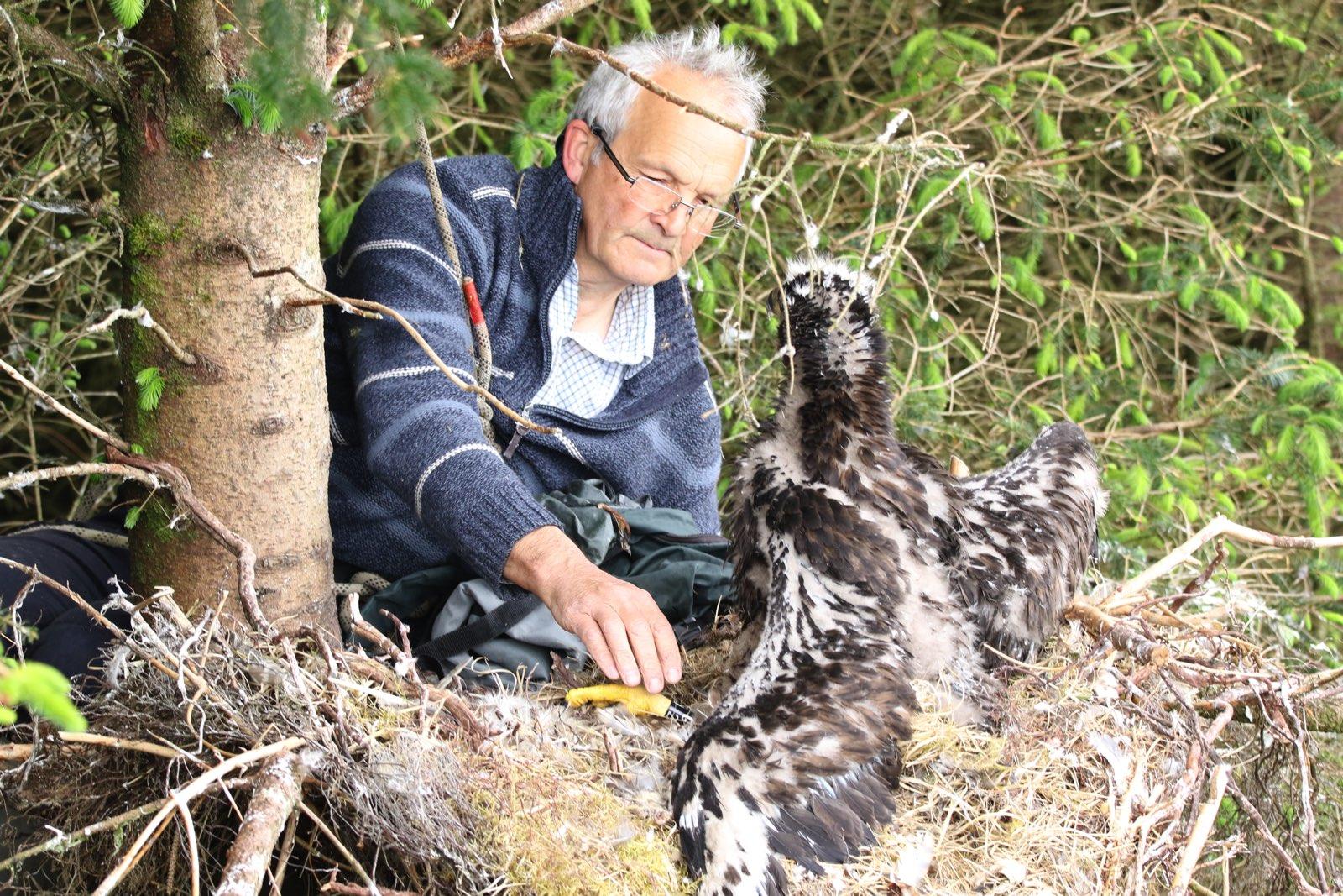 white tailed eagle ringing