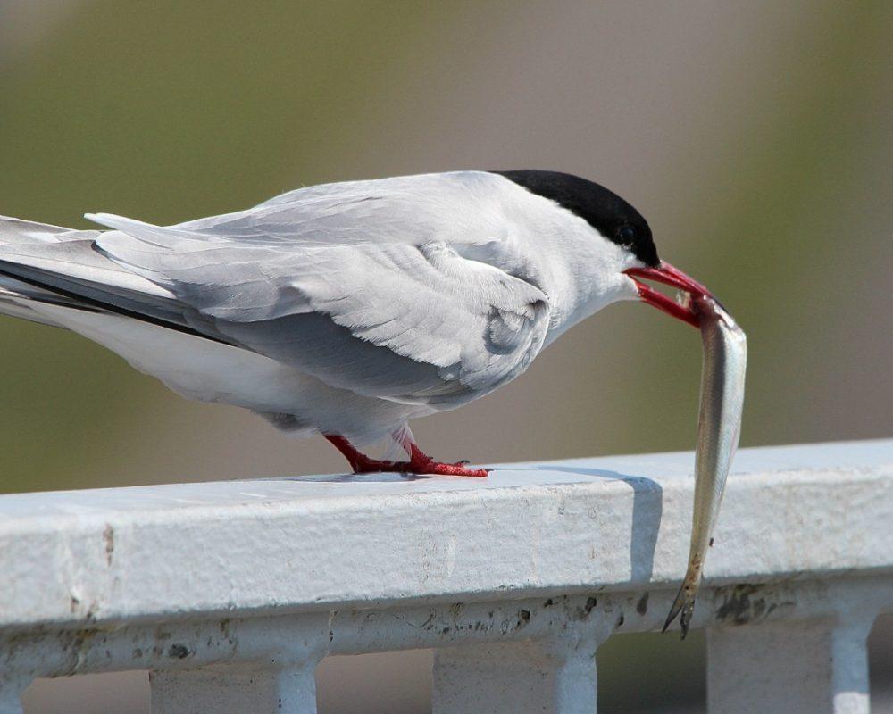 animal_animal_photography_arctic_tern_bird_sea_bird-1482629