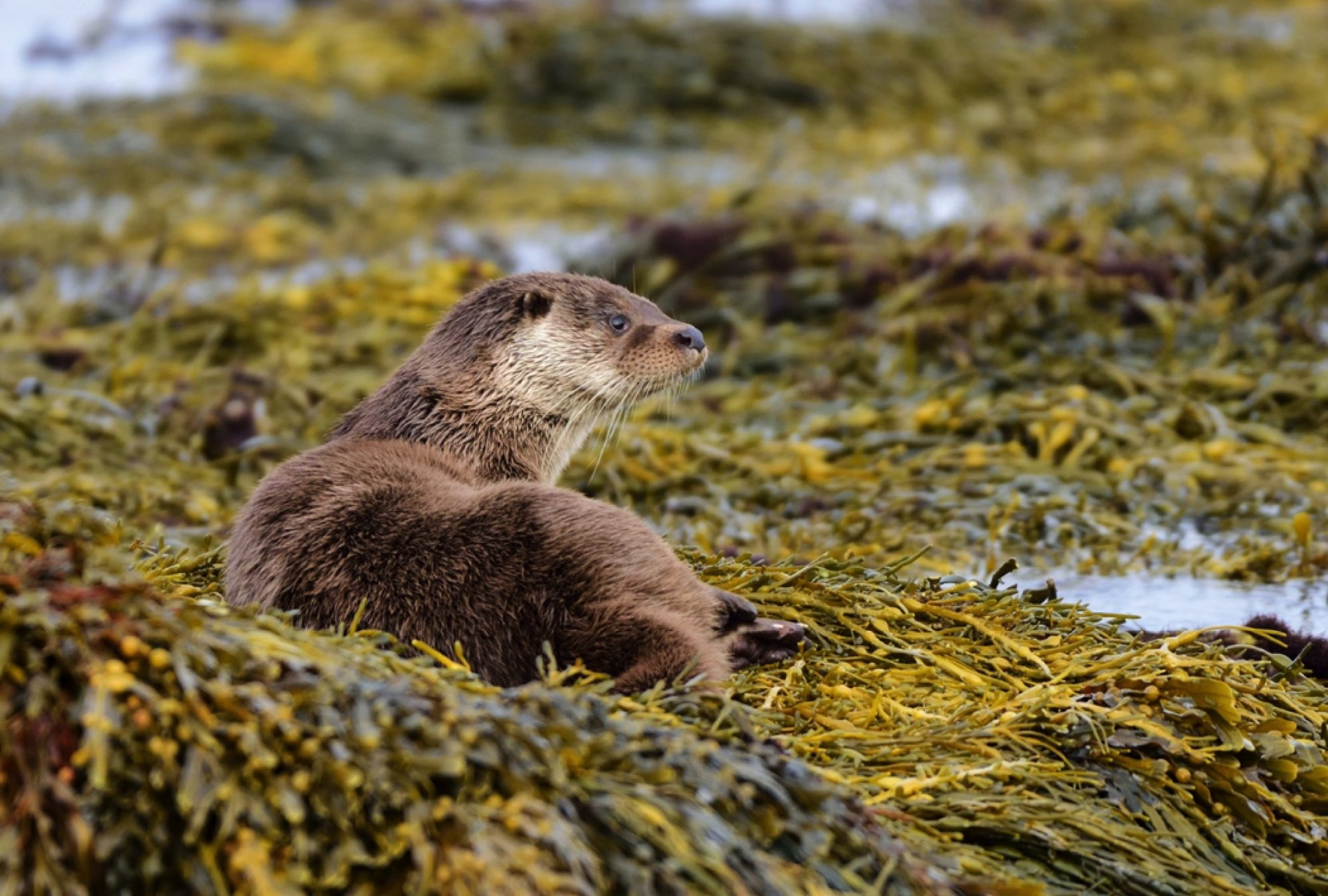 Otter North Uist by Western Isles Wildlife