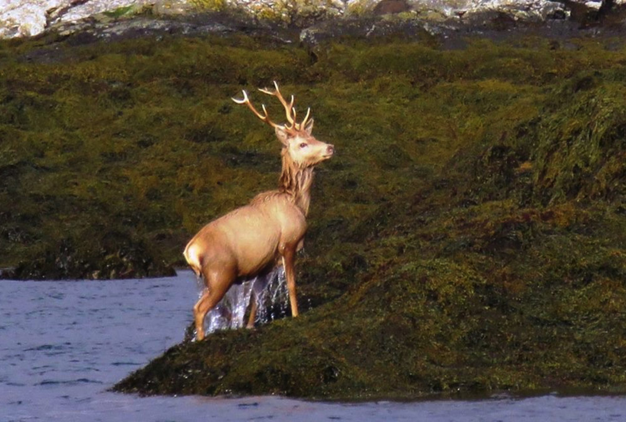 stag dripping uist outer hebrides